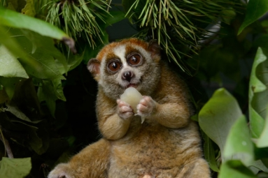 Cute But Deadly- The Critically Endangered Slow Lorises